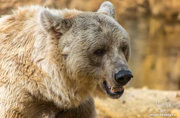 Бурый медведь. CC0