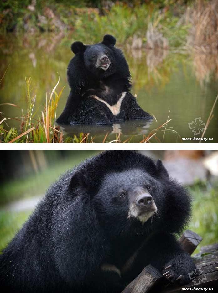 Очень красивые медведи: Гималайский медведь