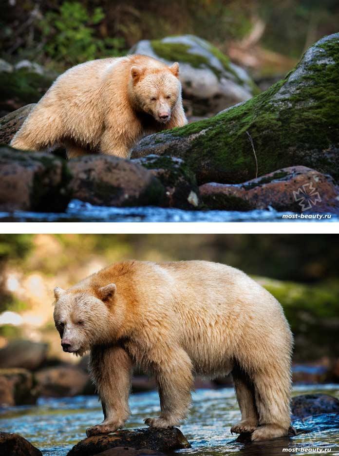 Самые красивые медведи: Кермод