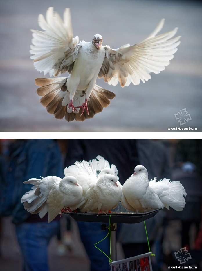 Красивые белые голуби. CC0