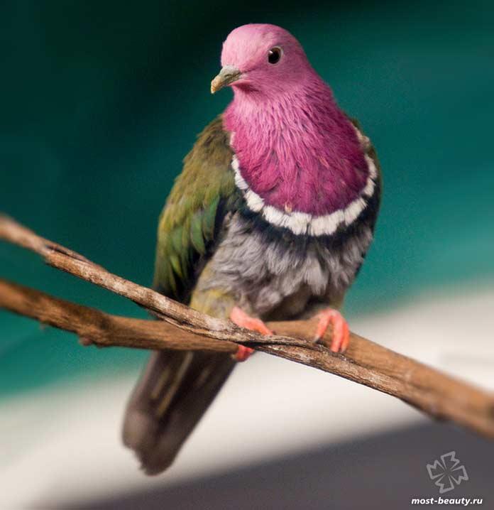 Красношейный пестрый голубь