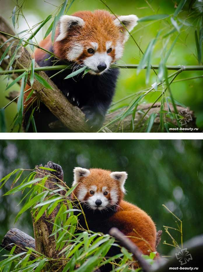 Самые красивые медведи: Малая панда. CC0