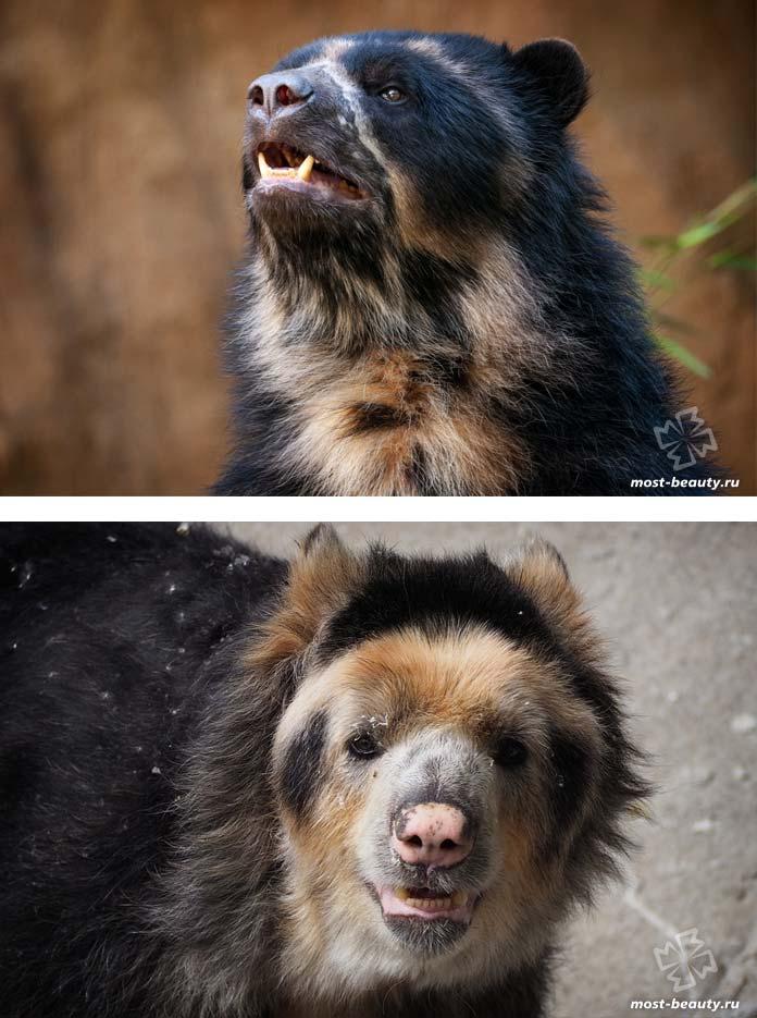 Очковый медведь. CC0