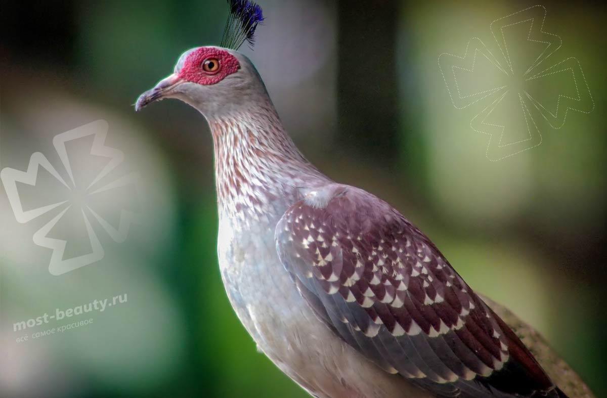 Самые красивые голуби. CC0