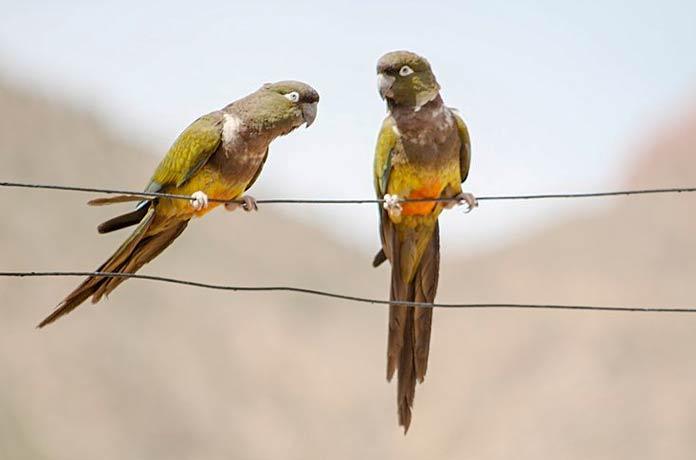 Скалистый (патагонский) попугай
