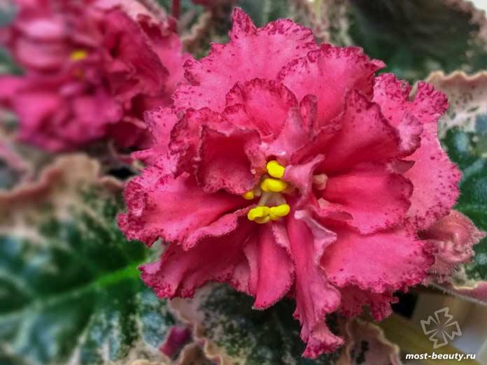 красивые фиалки: Страна багровых туч