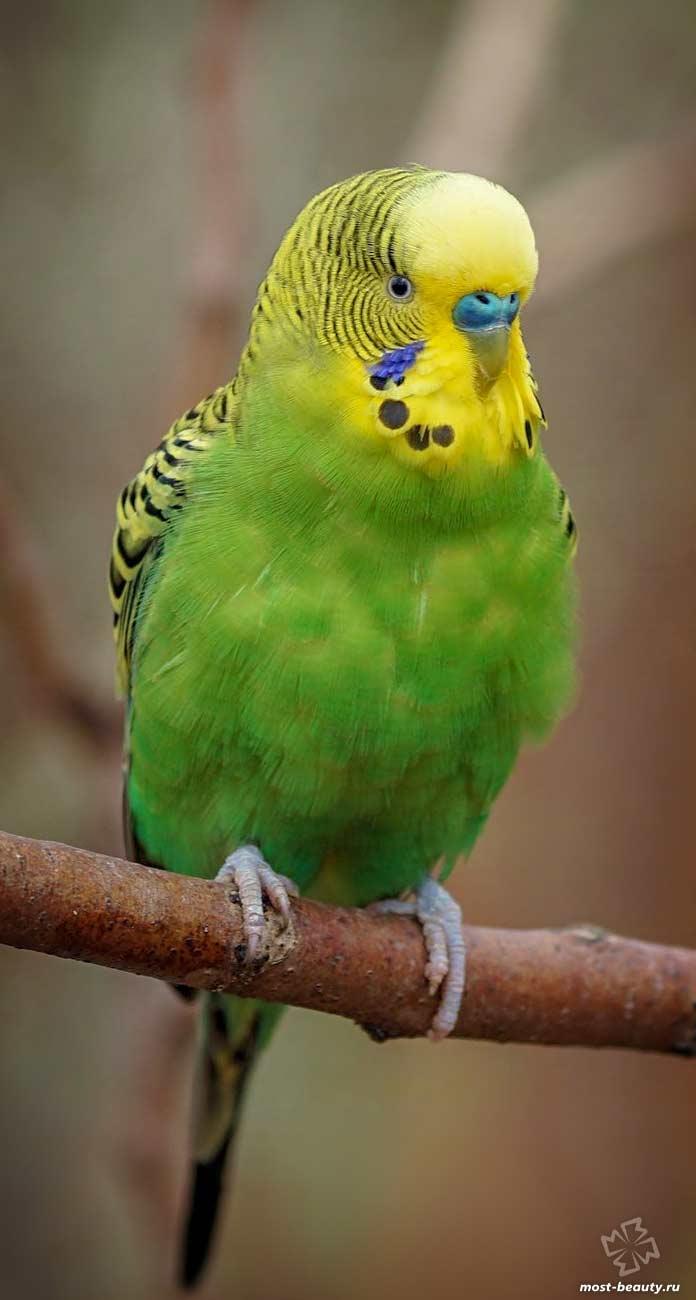 Красивый волнистый попугай. CC0