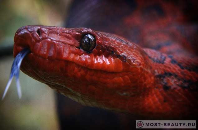 Очень красивые змеи: Доминиканский горный красный удав