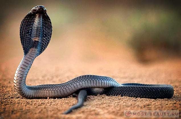 Очень красивые змеи: Королевская кобра