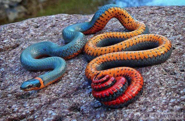 Радужная змея