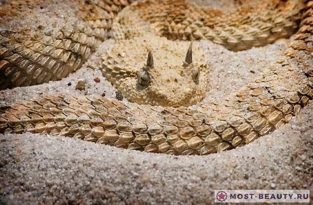 Опасные и красивые змеи: Рогатая гадюка