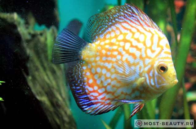 Самые красивые рыбы: Symphysodon