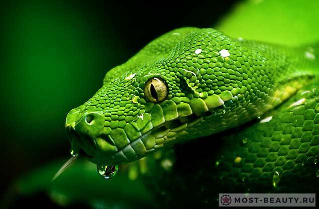 Удивительно красивые змеи: Зеленый питон