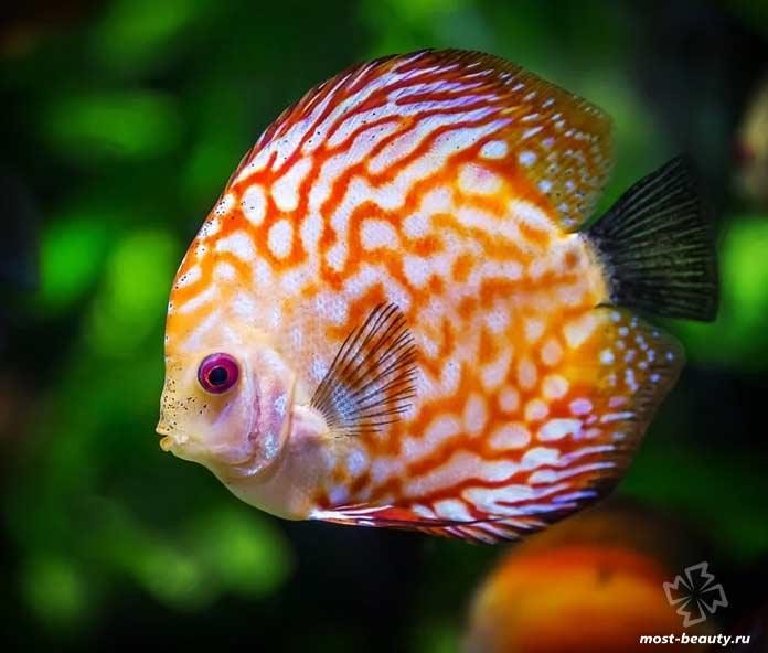 Прекрасные аквариумные рыбки: Дискус равнополосый. CC0