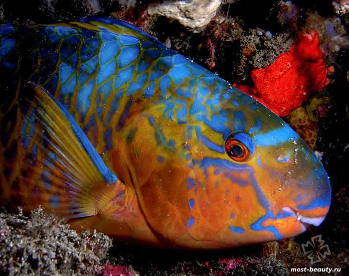 Необыкновенные морские существа: Голубая рыба-попугай