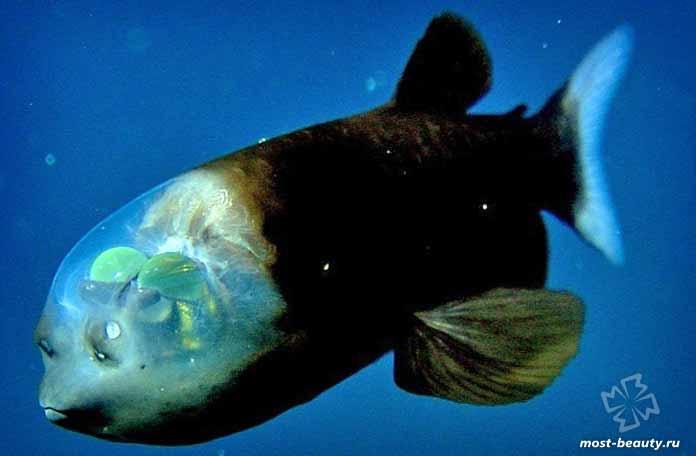 фантастические морские существа: Малоротая макропинна