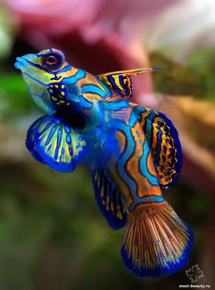 Мандаринка - одна из самых красивых рыб. CC0