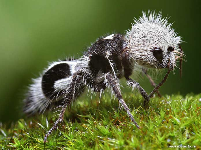 Удивительные животные планеты: Муравей-панда