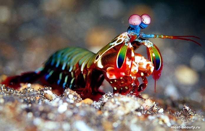 Удивительные морские существа: Павлиний рак-богомол