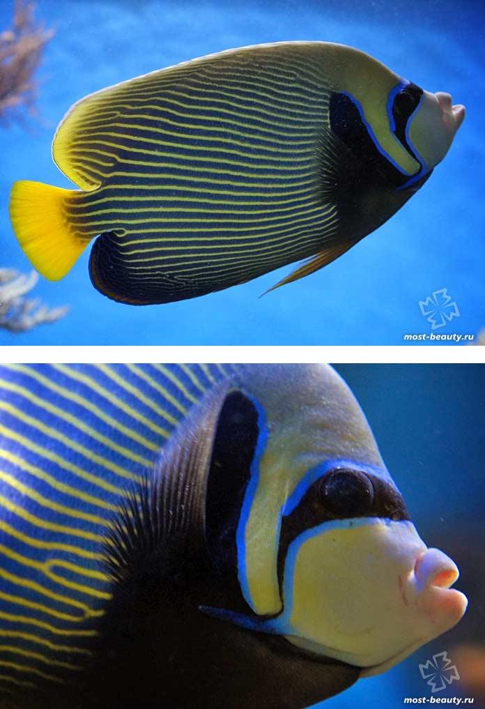 Самые красивые рыбы: Pomacanthus imperator. CC0