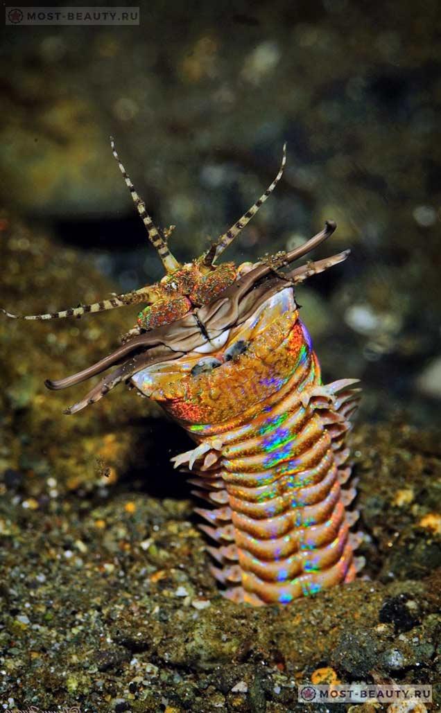 Пурпурный австралийский червь