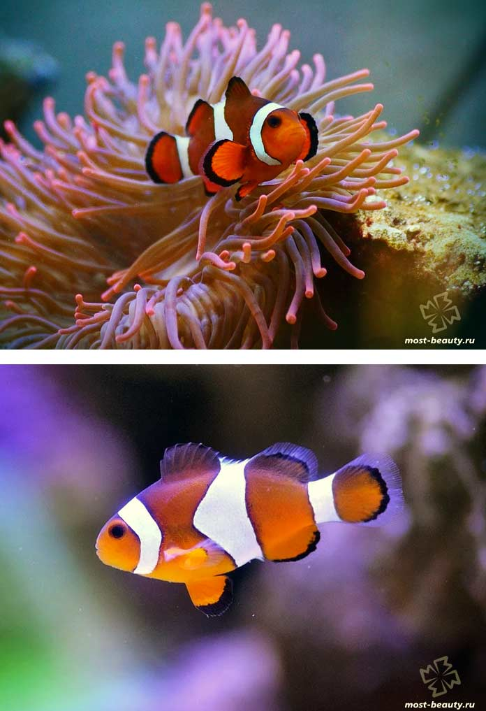 Рыба-клоун / Amphiprion. CC0