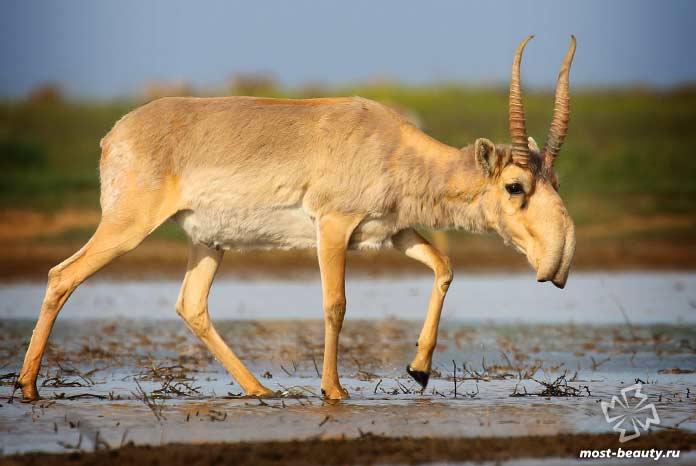 Удивительные животные Земли: Сайгак