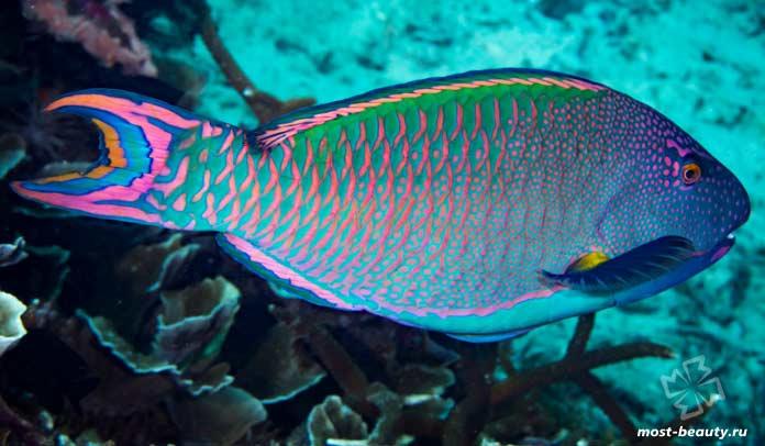 Очень красивые рыбы: Scaridae