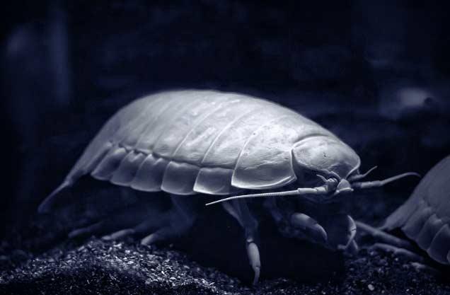 Страшные морские существа: изопод