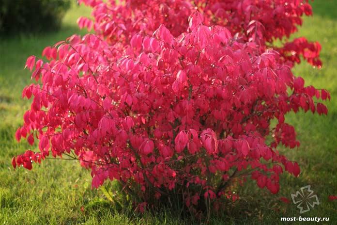 Красивые деревья для сада: Бересклет крылатый. CC0