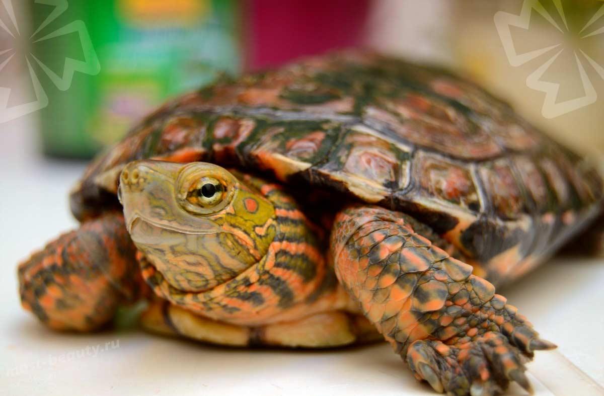 Удивительные, необычные и очень красивые черепахи (40 фото)