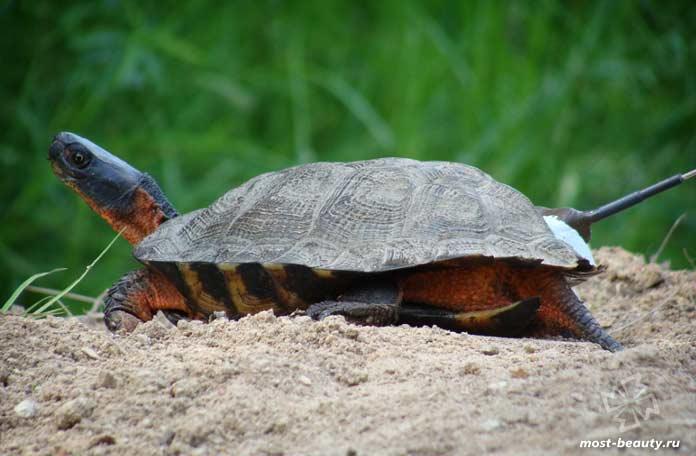 Деревянная черепаха. CC0