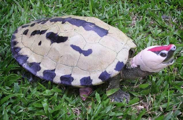 Красивые черепахи: Каллагур