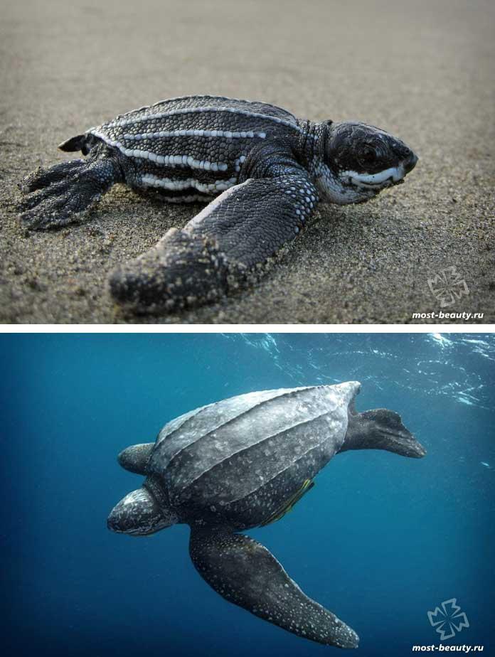 Красивые черепахи: Кожистая черепаха