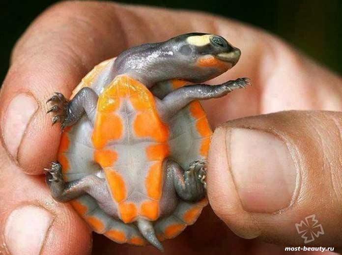 Красивые черепахи: Краснобрюхая короткошейная