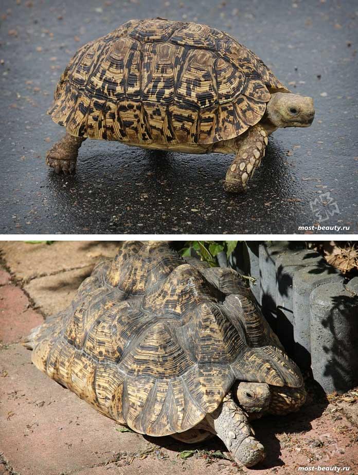 Леопардовая черепаха. CC0