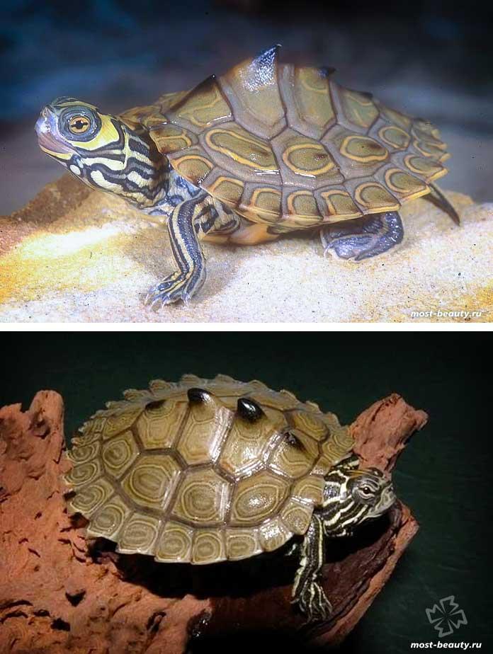Красивые черепахи: Шишковатая горбатая