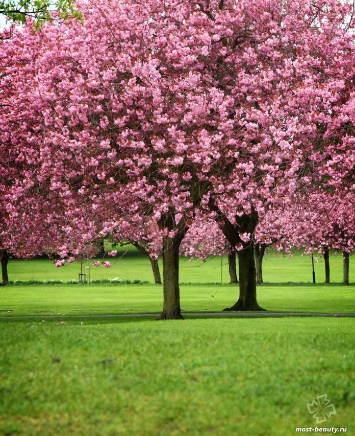 Красивые деревья для сада: Сакура. CC0