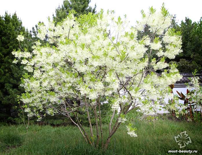 Снежноцвет виргинский