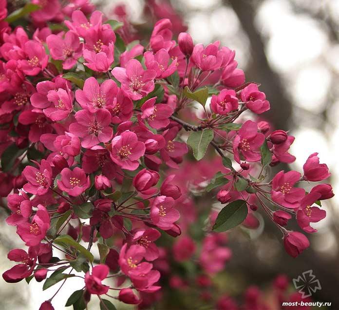 Красивые деревья для сада: Яблоня Недзвецкого. CC0