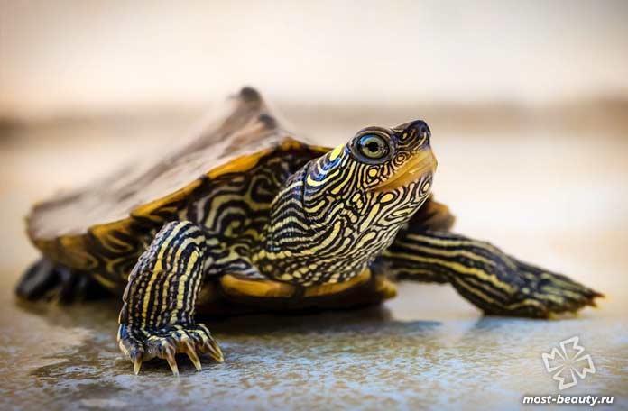 Красивые черепахи: Желто-пятнистая горбатая. CC0
