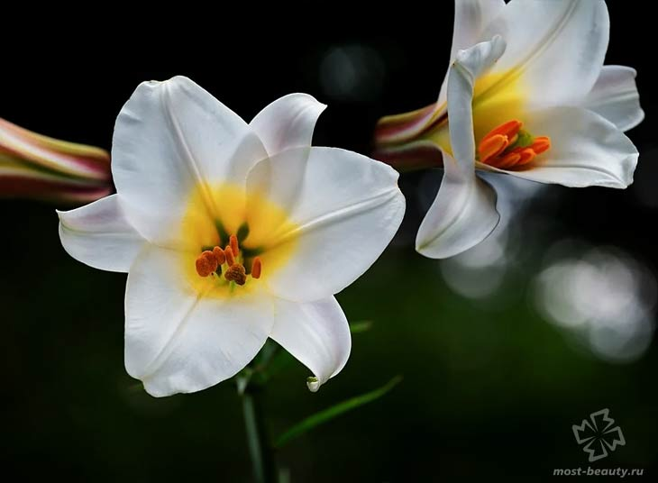 Белая лилия. CC0