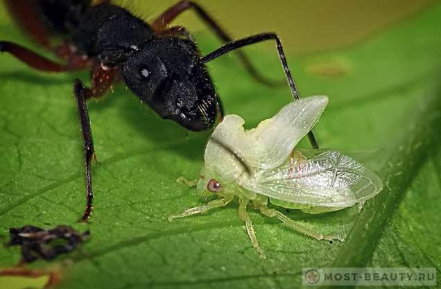 Горбатка и муравей