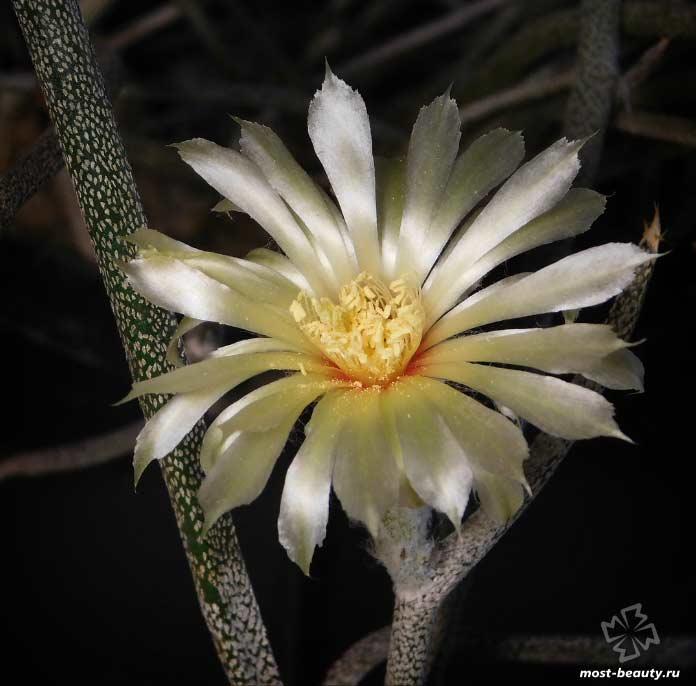 Очень красивые кактусы: Астрофитум Голова Медузы