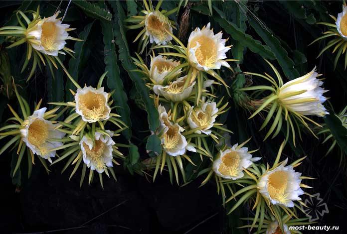 Очень красивые кактусы: Hylocereus undatus