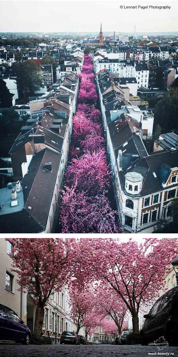Самые красивые улицы в мире: Cherry Blossom Avenue. CC0