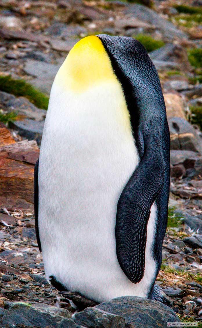 пингвин без головы