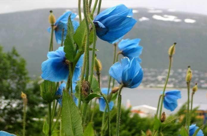 Гималайские