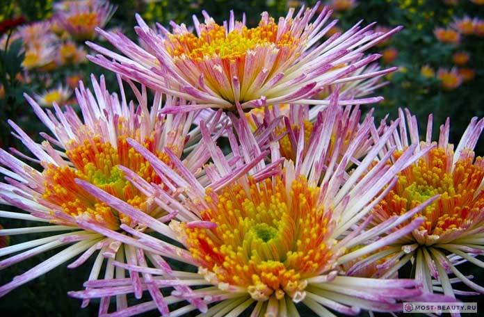 Хризантема японская
