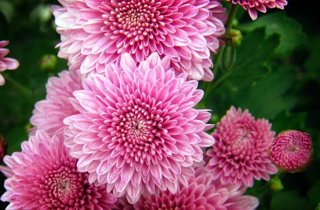 Самые красивые хризантемы в мире (  Фото) Стр.1
